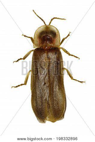 Firefly on white Background - Lampyridae sp.