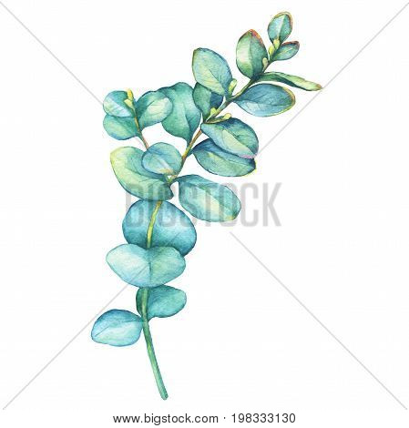 A branch of silver-dollar eucalyptus (Eucalyptus cordata), plant also known as Silver Dollar Gum. Watercolor hand drawn painting illustration, isolated on white background.