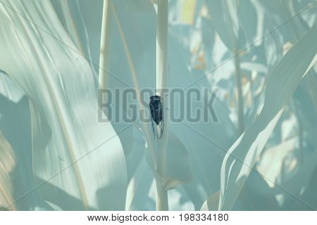 Cornfield stalk in field in infrared with cicada.