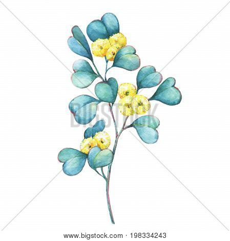 A branch of Eucalyptus websteriana ( Heart-leafed, Silver gum) flowers, plant also known as Yellow Box Gum. Watercolor hand drawn painting illustration, isolated on white background.