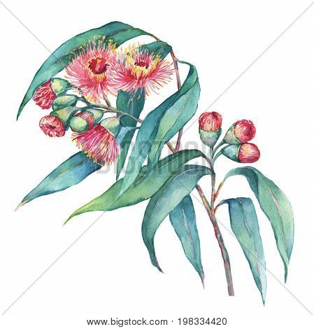 A branch of Eucalyptus caesia (commonly known Gungurru or Silver Princess) flowers, plant also known as Yellow Box Gum. Watercolor hand drawn painting illustration, isolated on white background.