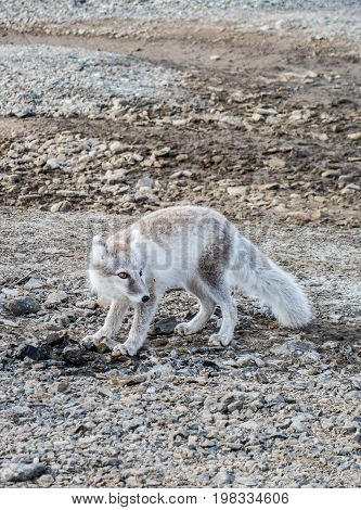 Arctic Fox near a campsite in Svalbard