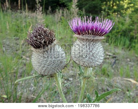 Beautiful violet thistle , purple thistle ,