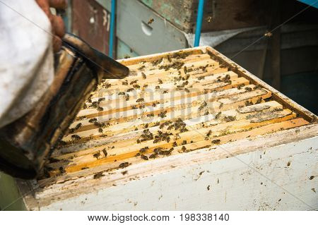 Beekeeper Make Smoke Under The Hive. Frame Full With Bees And Working Apiarist