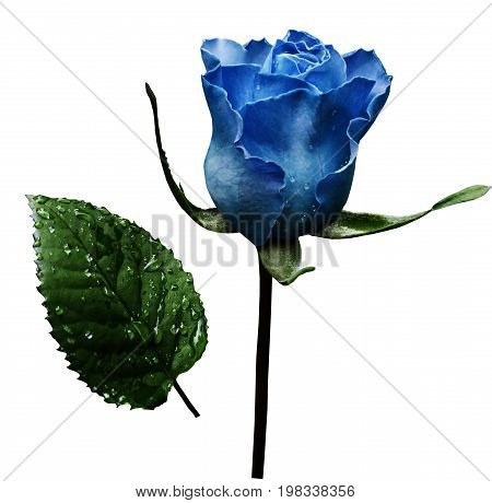 Blue rose on white isolated background with clipping path. No shadows. Closeup. A flower on a stalk with green leaves after a rain with drops of water. For flowers design. Side view. Nature.