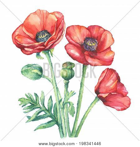 The bouquet flowering red poppies flowers (Papaver somniferum, the opium poppy). Watercolor hand drawn painting illustration, isolated on white background.