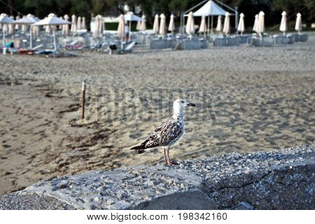 Sea seagull sitting on a beach wall in the background of a parasol