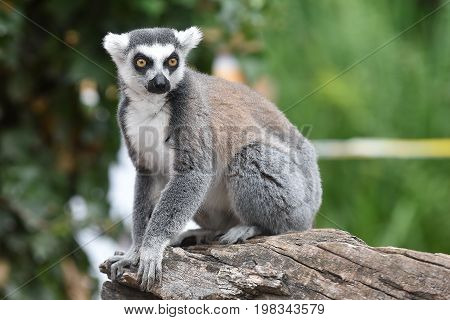 Ring-tailed lemur sitting on the tree in zoological garden poster