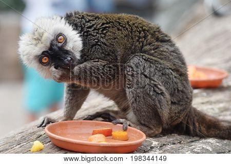 White-headed lemur eating a food in a zoological garden