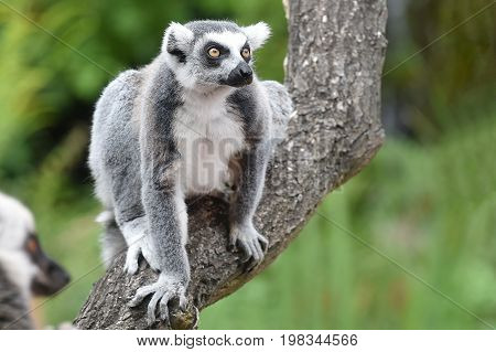 Ring-tailed lemur sitting on the tree in zoological garden