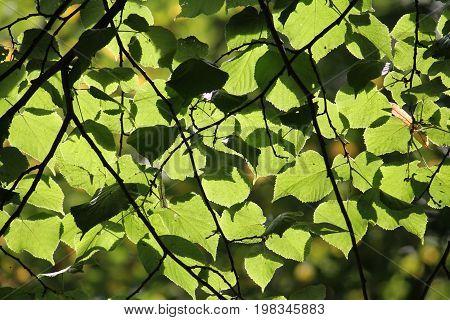 Green leaves of linden sunlit. Green floral background