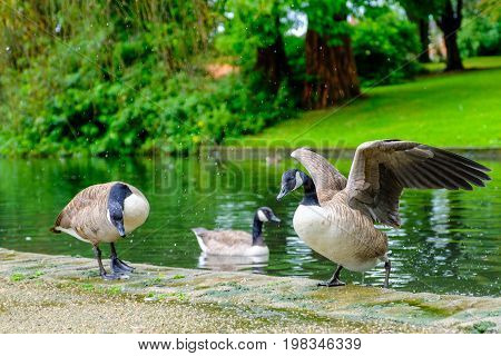Three Canada geese with one of them getting out of the water