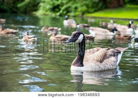 A canada goose swimming in a lake with other geese and ducks in the background