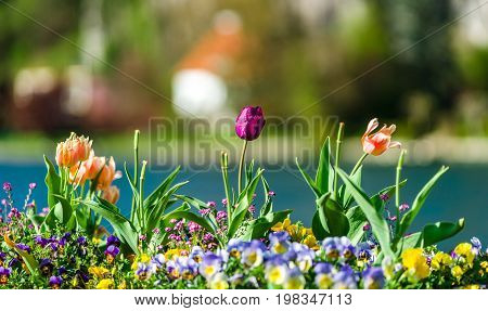 Colorful Tulips On Blured Background, Riverside, Namur, Messe