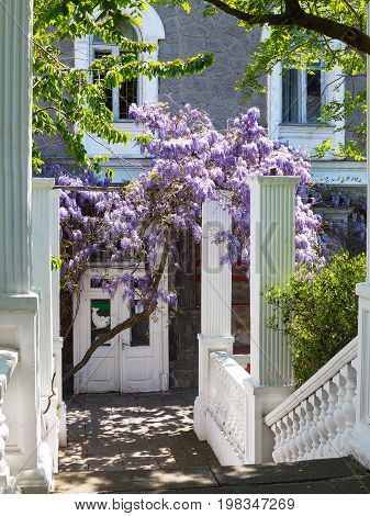 Facade Of Old Mansion Framed With Purple Clusters Of Wisteria With Barely Blossoming Green Leaves. S