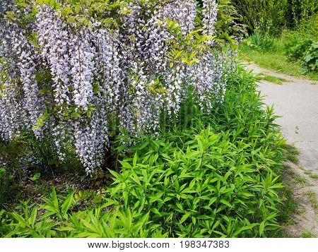 Flowering Wisteria In Crimea Fascinating. Soft Color Palette Of Flowering Tree, With Barely Bloomed