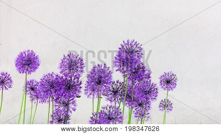 Creative Ball Shaped Purple Flowers On Long Thin Stems On The Blank Gray Wall. To Use As A Backgroun