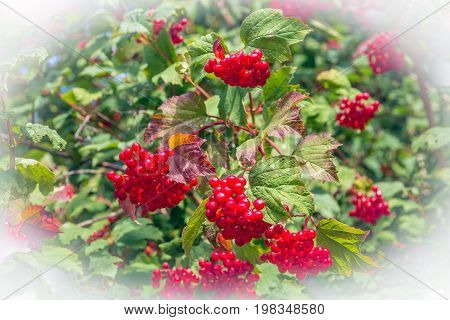 Bright red berries of a guelder-rose or Viburnum opulus bush on a sunny day in the Dutch summer season.