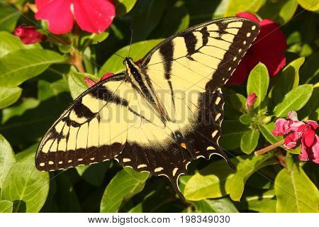 Male Tiger Swallowtail (papilio glaucas) Butterfly on Impatiens flowers