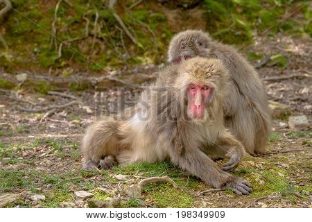 Japanese macaques grooming each other at Iwatayama Monkey Park of Arashiyama town in Kyoto prefecture, Japan. Macaca fuscata monkeys cleaning and removing bugs each other.