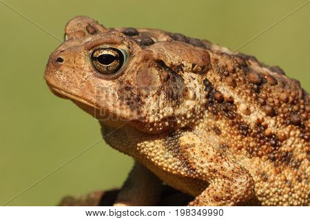 American Toad (Bufo americanus) with a green background