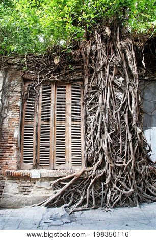 Wild roots trough the wall and ancient windows in old city, semarang, indonesiaC