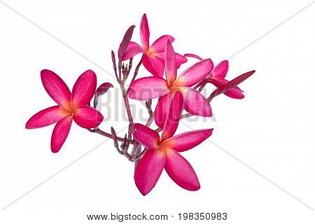 plumeria red flower isolated white background frangipani pink beautiful nature
