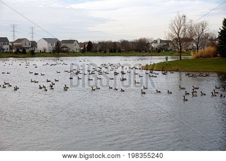Flocks of migrating Canada geese (Branta canadensis) stop at a small lake in a residential area of Joliet, Illinois while on their seasonal southward migration, during November.
