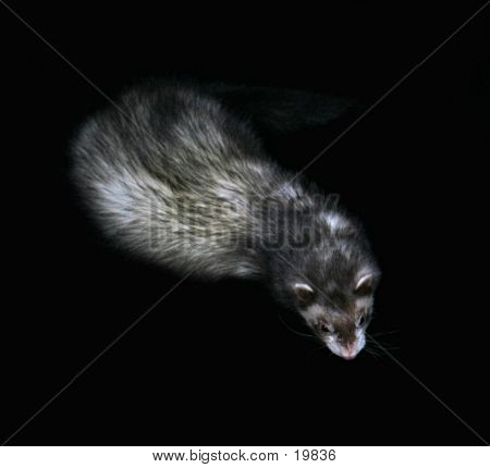 Female Domestic Ferret
