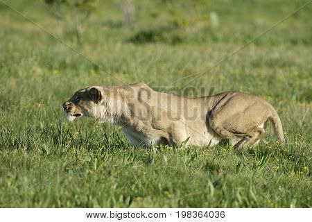 Lioness In Hunting Mode, South Africa