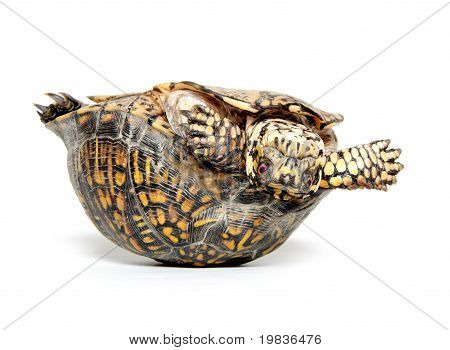 Box Turtle Upside Down