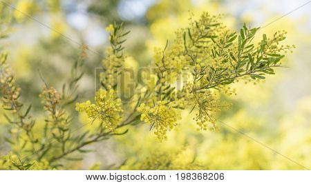 Spring time in Australia with yellow wattle flowers blossoming and bokeh background