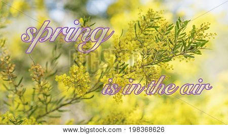 Spring time in Australia with yellow wattle flowers blossoming and bokeh background and text 'spring is in the air'