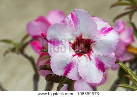 Image of a beautiful pink azalea flowers in the garden. (Adenium)