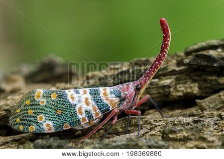 Image of pyrops candelaria (Pyrops candelarius) on nature background. Insect Animal