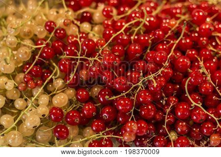 Natural background berries of a red and white currant fruit bio organic backyard healthy outdoor produce germany macro close up