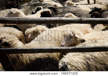 Not very well groomed sheep in a wooden cattle paddock