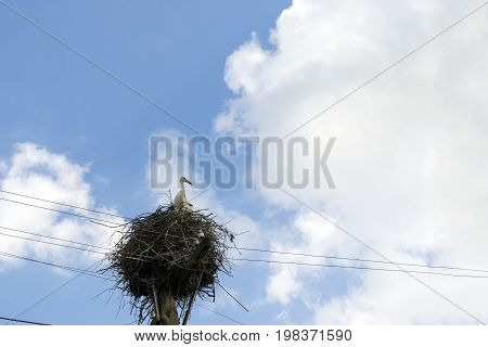 one 1 fledgling Hatchling wild storks sitting in nest against the sky and wires bird beak