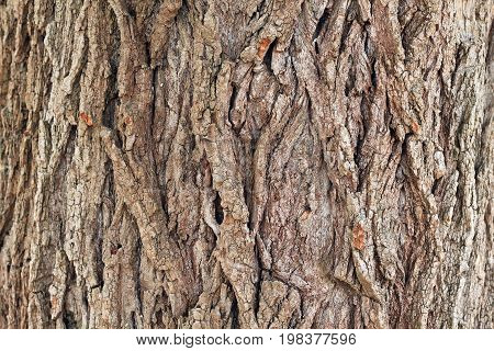 Background from texture of poplar bark. Close up. There are deep coarse cracks.