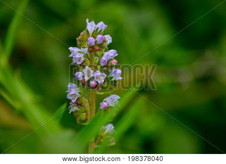 Small cluster of colorful flowers, echium strictum, wild plant of Canary islands