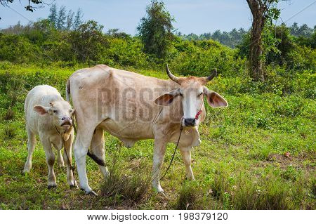 Cow and white calve grazing on a green meadow in sunny day. Farm animals.
