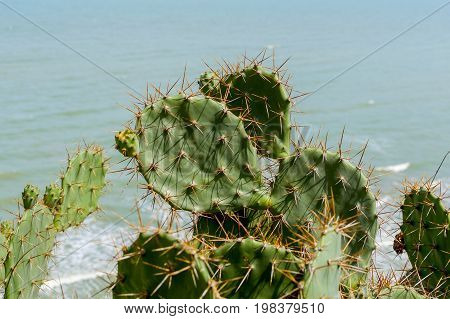 Green Pads On A Prickly Pear Cactus. Opuntia, Ficus-indica, Indian Fig Opuntia, Barbary Fig, Cactus