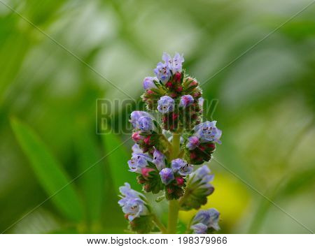 Small wildflowers in full splendor, echium strictum, Gran canaria, Canary islands