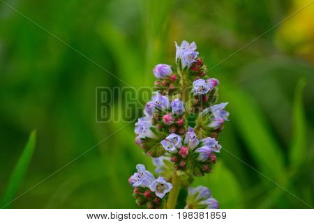 Beautiful cluster of small wildflowers, echium strictum, Canary islands