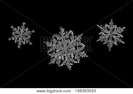 Three snowflakes isolated on black background. Macro photo of real snow crystals: large stellar dendrite snow crystals with elegant shape, fine hexagonal symmetry and ornate arms with side branches.