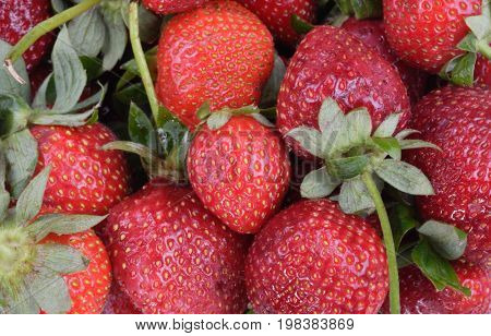 image of many many raw red Strawberry