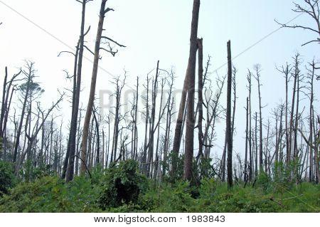 Dead Trees From Katrina