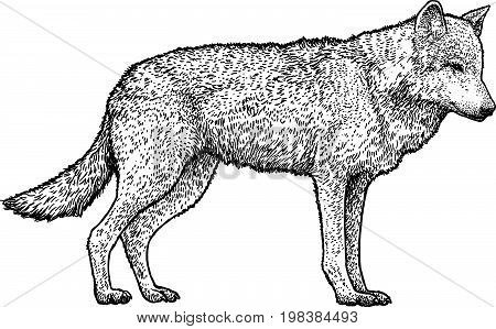 Wolf illustration, drawing, engraving, ink, line art