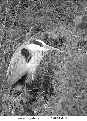 Grey heron resting in undergrowth close to river