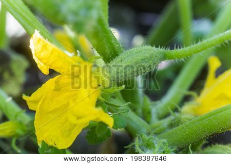 Cucumber ovary and yellow flower. Cucumber Cucumis sativus in the vegetable garden with ovary onstalk with leaves. Cucumber in garden is tied up on trellis. Close-up.